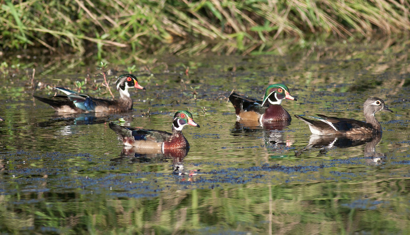 Wood Duck Drakes in various stages of the transition from Eclipse to Basic Plumage
