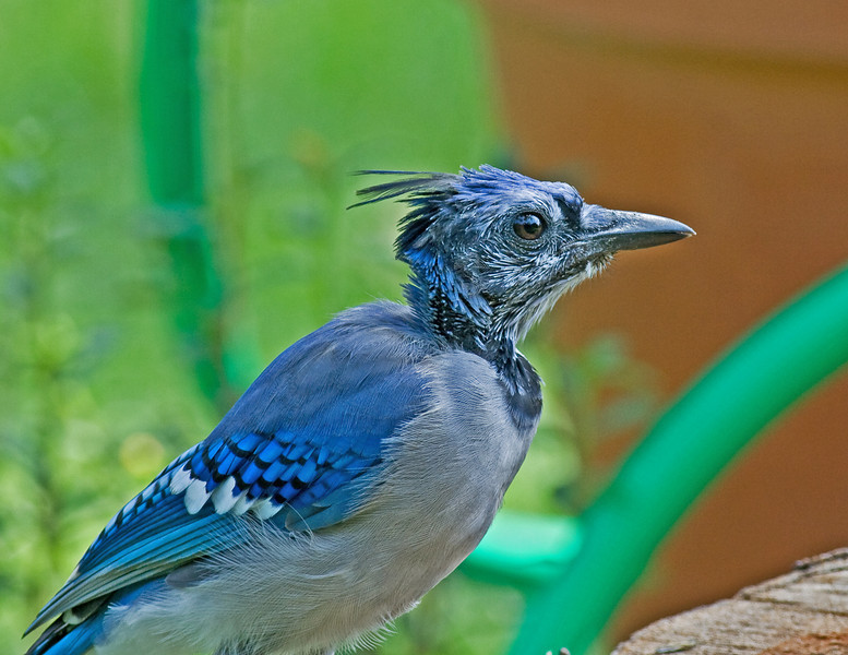 Blue Jay molting feather track on the head and neck making the individual appear pretty rough.