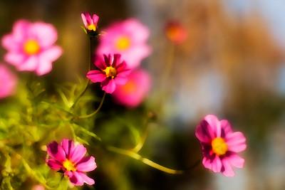 pinkcosmos
