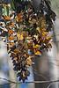 Monarchs4464