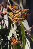 Monarchs4444