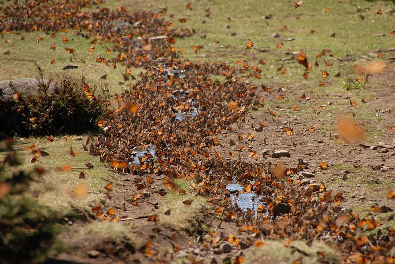Butterflies, Rosario_069