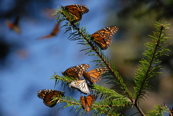 Monarch butterflies, Rosario Mexico