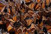 Butterflies, Rosario_079