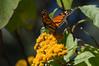Butterflies, Rosario_015