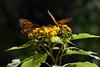 Butterflies, Rosario_006