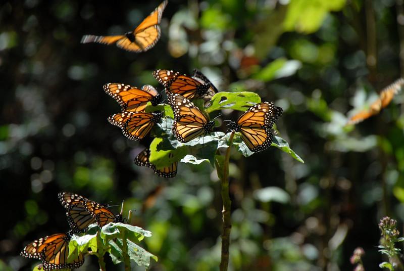 Butterflies, Rosario_107