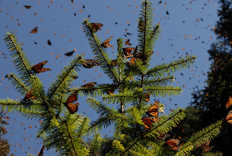 Butterflies, Rosario_165