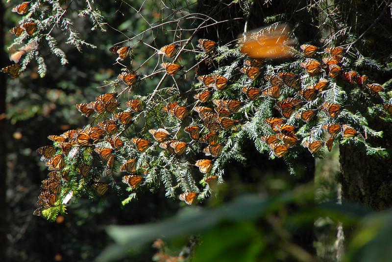Butterflies, Rosario_169