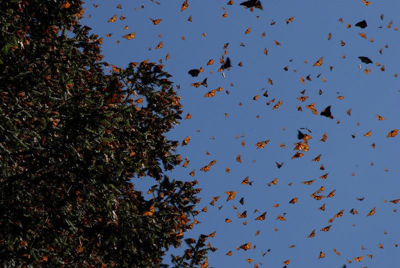 Butterflies, Rosario_152