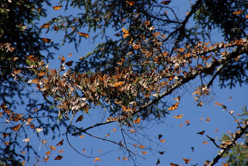 Butterflies, Rosario_125