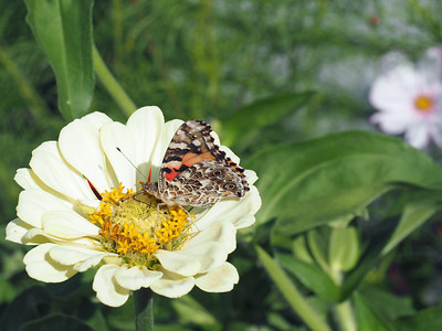 Painted Lady and Monarch and more - August 2019