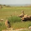 Little owl (Athene noctua), Ikh Nart Nature Reserve, Mongolia