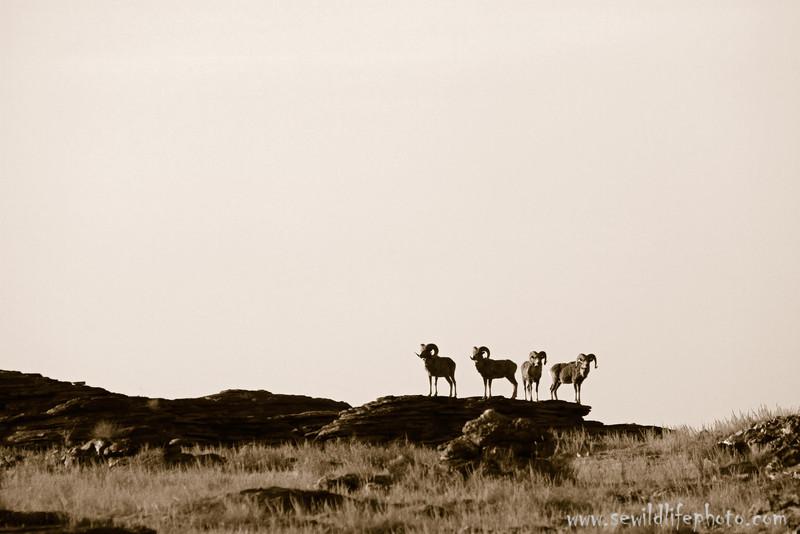 Argali rams (Ovis ammon) in black and white, Ikh Nart Nature Reserve, Mongolia