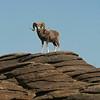 Argali ram (Ovis ammon), Ikh Nart Nature Reserve, Mongolia