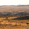Argali ram (Ovis ammon) running in Gobi Desert landscape, Ikh Nart Nature Reserve, Mongolia.