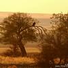Cinereous vulture (Aegypius monachus) in tree, Ikh Nart Nature Reserve, Mongolia.