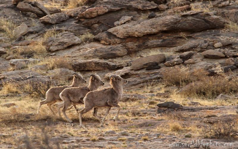 Running argali ewes (Ovis ammon), Ikh Nart Nature Reserve, Mongolia