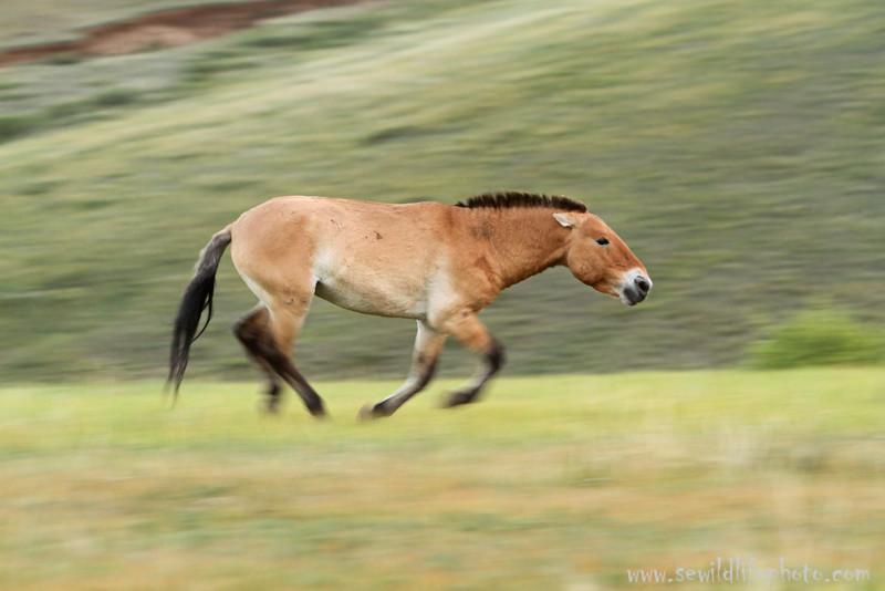 Przewalski's horse stallion (Equus ferus przewalskii) herding his harem, Hustai National Park, Mongolia