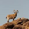 Siberian ibex billy (Capra sibirica), Ikh Nart Nature Reserve, Mongolia