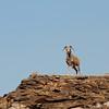 Argali ewe (Ovis ammon), Ikh Nart Nature Reserve, Mongolia