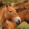 Przewalski's horse (Equus ferus przewalskii), Hustai National Park, Mongolia.