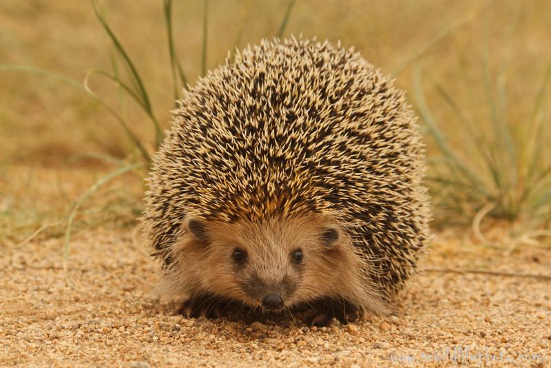 Daurian hedgehog (Mesechinus dauuricus), Ikh Nart Nature Reserve, Mongolia