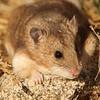 Mongolian hamster (Allocricetulus curtatus), Ikh Nart Nature Reserve, Mongolia