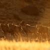 Argali rams (Ovis ammon), Ikh Nart Nature Reserve, Mongolia