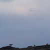 Argali ewes and lambs (Ovis ammon), Ikh Nart Nature Reserve, Mongolia