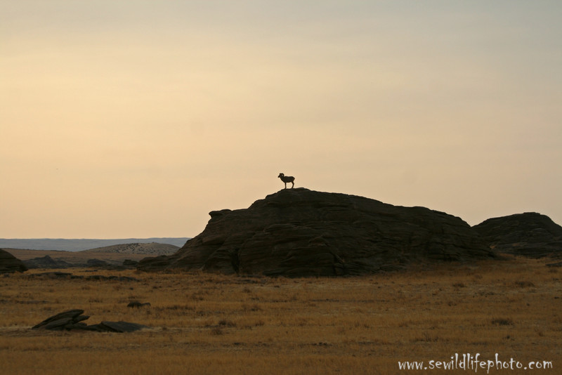 Silhouetted argali ram (Ovis ammon), Ikh Nart Nature Reserve, Mongolia