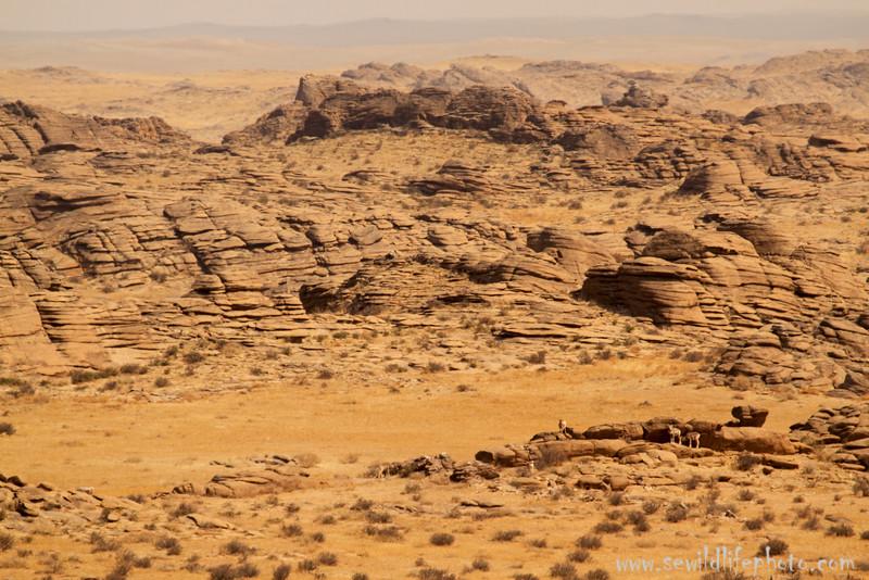 Gobi desert landscape with argali (Ovis ammon), Ikh Nart Nature Reserve, Mongolia