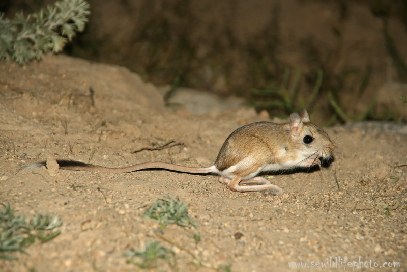 Hairy-footed jerboa (Dipus sagitta), Ikh Nart Nature Reserve, Mongolia