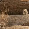 Pallas' pika (Ochotona pallasi), Ikh Nart Nature Reserve, Mongolia