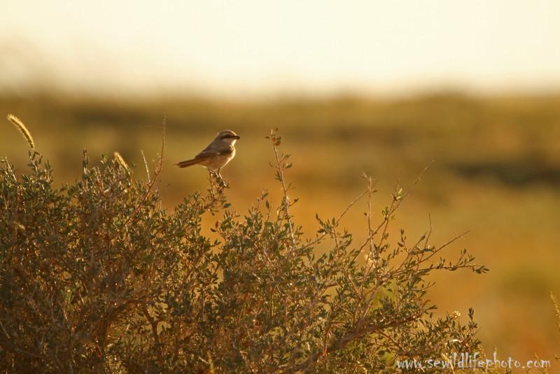 Isabelline shrike (Lanius isabellinus), Ikh Nart Nature Reserve, Mongolia