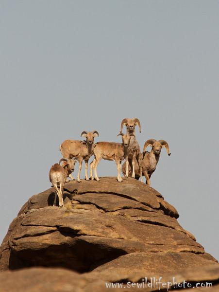 Argali sheep (Ovis ammon) group, Ikh Nart Nature Reserve, Mongolia