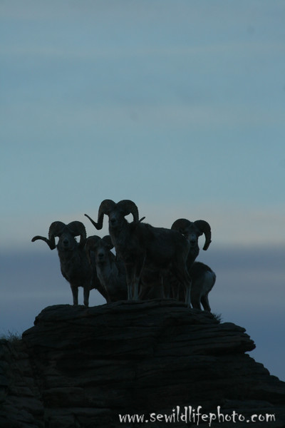 Argali rams (Ovis ammon), Ikh Nart Nature Reserve, Mongolia. Argali are the world's largest species of wild sheep.
