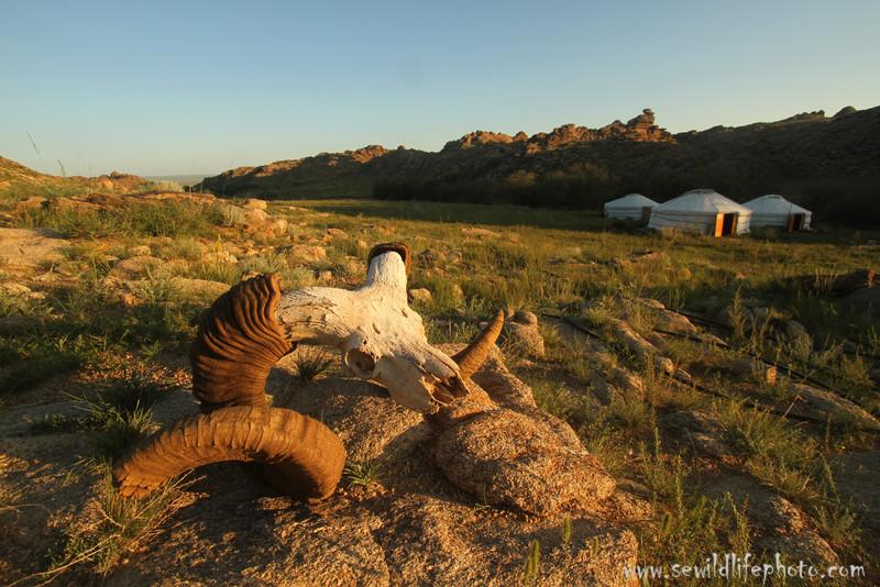 Argali ram skull (Ovis ammon) and gers, Ikh Nart Nature Reserve, Mongolia