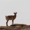 Siberian ibex female (Capra sibirica), Ikh Nart Nature Reserve, Mongolia