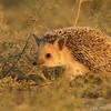 Long-eared hedgehog (Hemiechinus auritus), Ikh Nart Nature Reserve, Mongolia