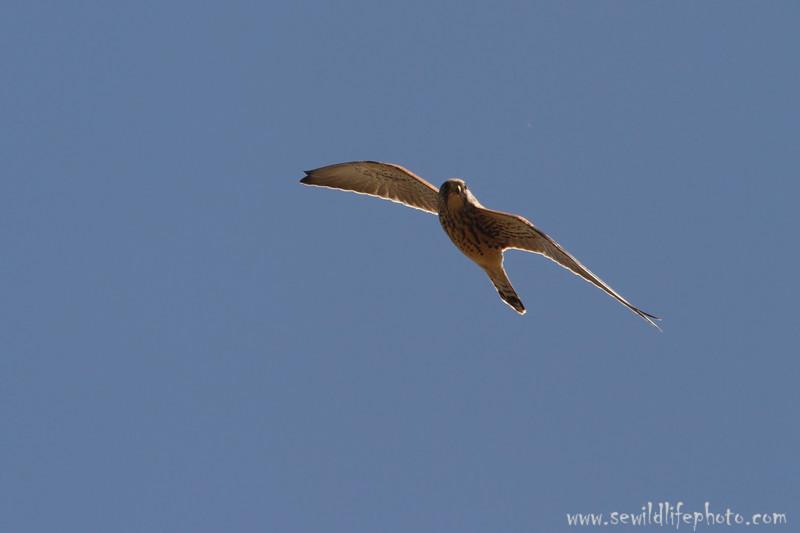 Lesser kestrel (Falco naumanni), Ikh Nart Nature Reserve, Mongolia