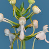 Monkey-Face Orchid<br /> White Fringless Orchid<br /> Platanthera integrilabia