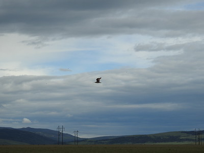 Solitary Long-billed Curlew against big Montana sky