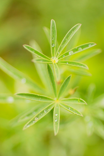 Rain drops on lupine leaves.  Lee Metcalf Wilderness, MT