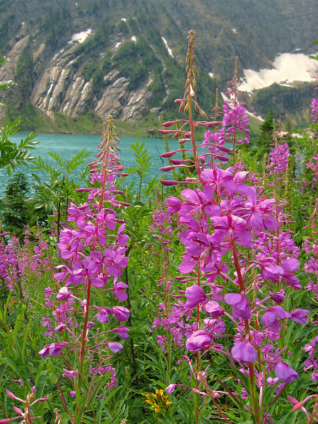 Fireweed #5, Bob Marshall Wilderness, MT