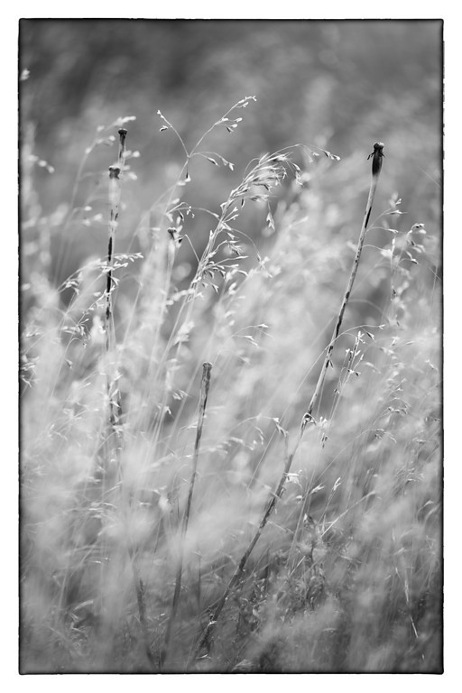 Prairie Weeds (BW)<br /> C.M. Russell National Wildlife Reserve