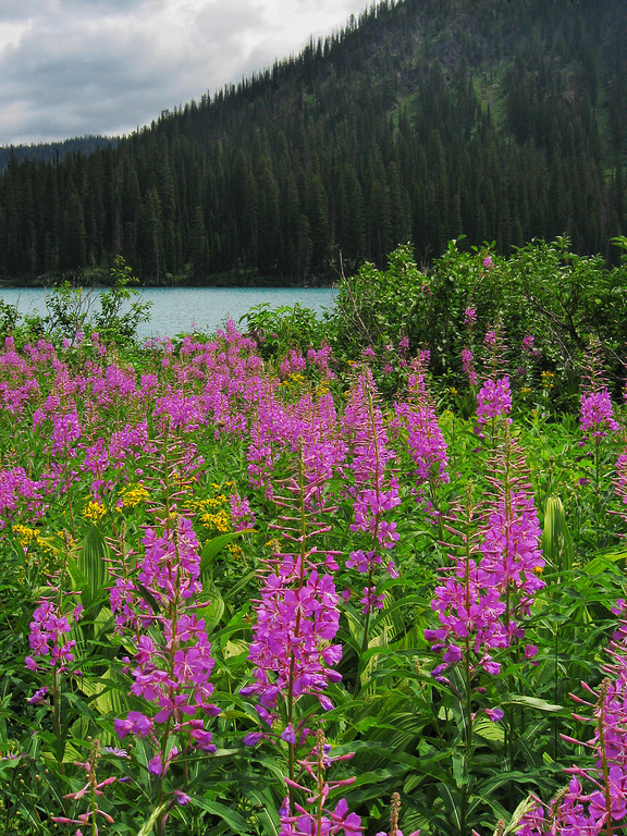 Fireweed #6, Bob Marshall Wilderness, MT