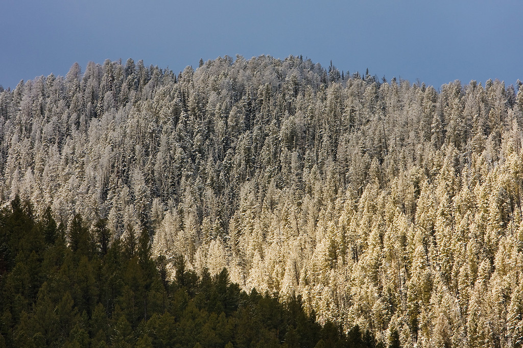 Frosted Forest #1<br /> Above Quake Lake, Gallatin National Forest, MT