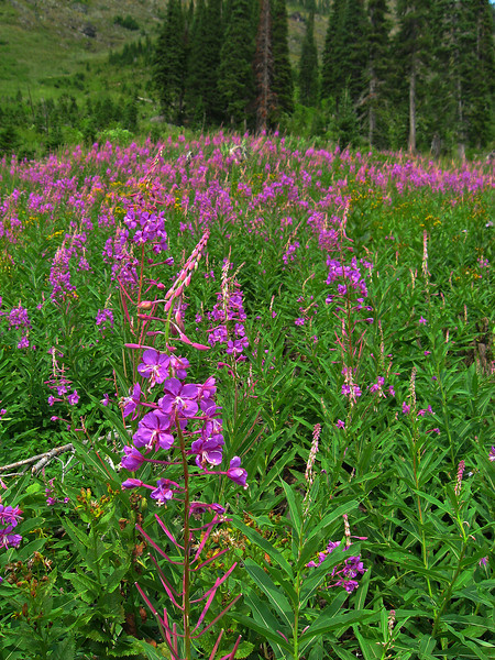 Fireweed #4, Bob Marshall Wilderness, MT