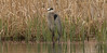 Great Blue Heron in the reeds.